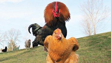 Manfaat suplemen untuk ayam pemacek