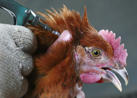 Faktor ayam menjadi ngorok