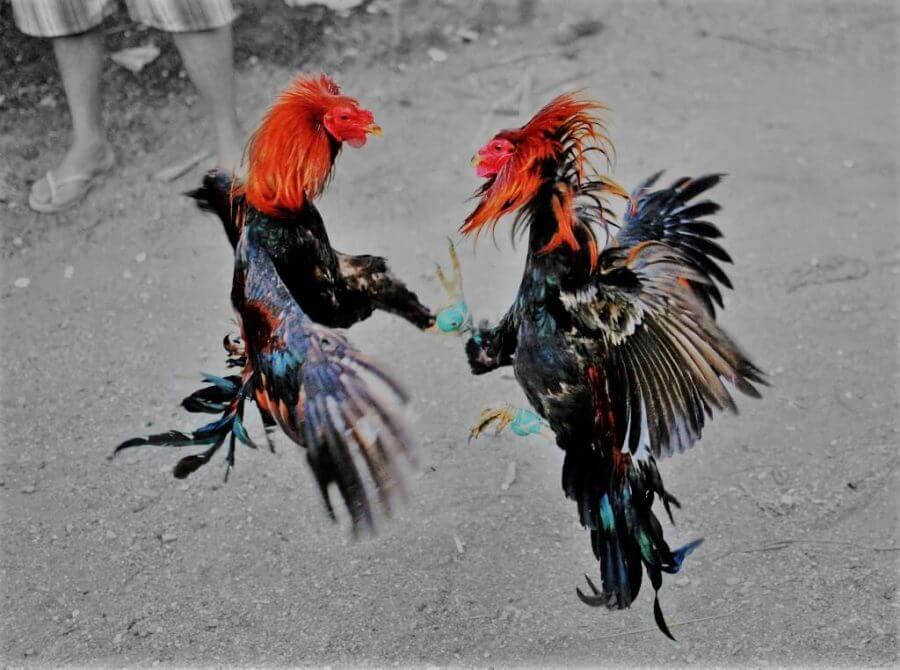 Tips Mengantisipasi Dugal Air pada ayam