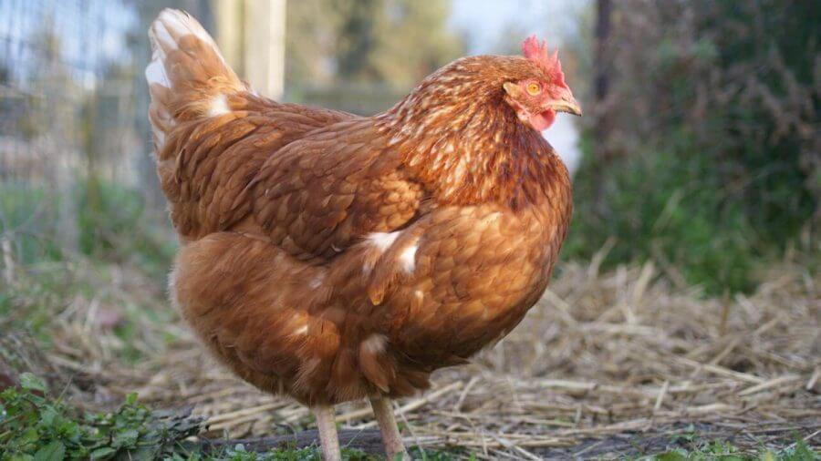 Ciri-ciri ayam terserang kutu