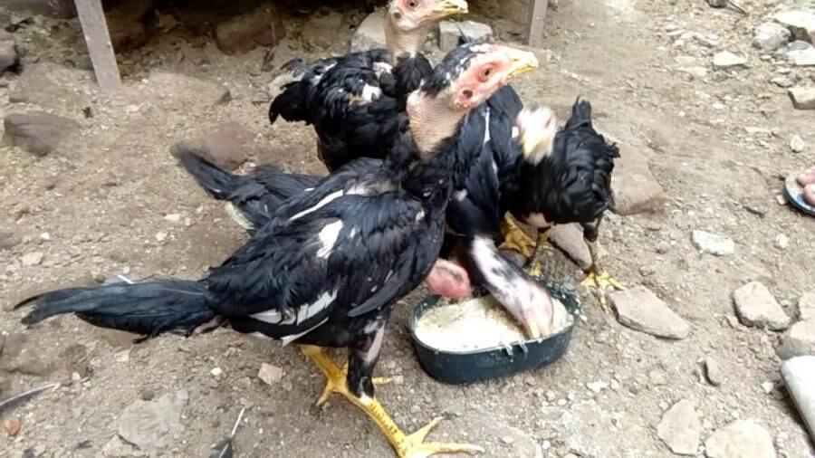 Penyebab ayam sehat tidak mau makan
