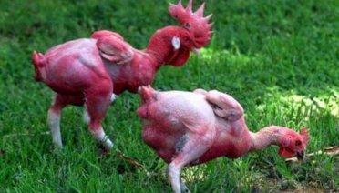 Tips Menumbuhkan bulu ayam