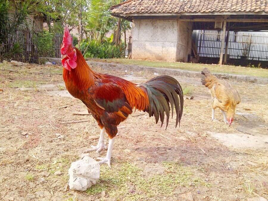 Faktor ayam bangkok kurus
