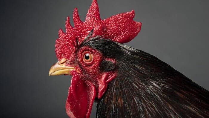 Tips mengobati mata ayam berair